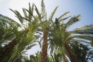 groene palmboom op blauwe hemelachtergrond foto