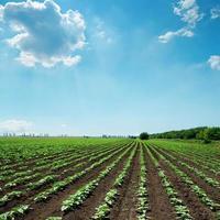 groene zonnebloemen en blauwe hemel met wolken foto
