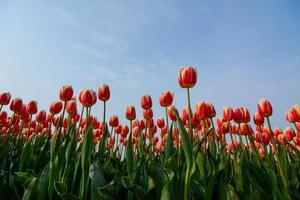 gebied van tulpen met een blauwe hemel