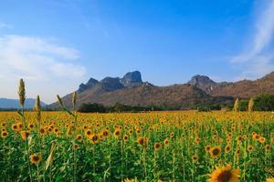 gebied van bloeiende zonnebloemen op blauwe hemelachtergrond