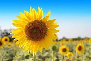 zonnebloem - blauwe lucht foto