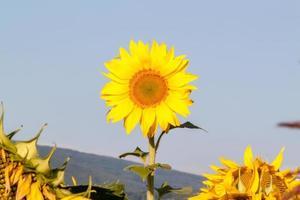 zonnebloemen in de lucht foto