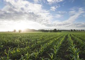 maïsveldzon en blauwe lucht in de ochtend