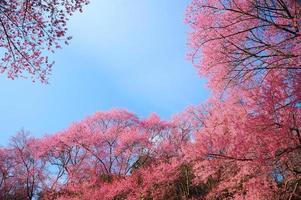 lente kersenbloesem met blauwe hemelachtergrond