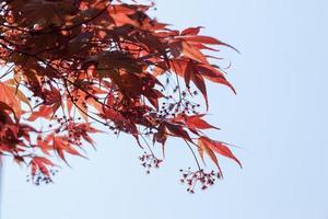 rode esdoornbladeren tegen de blauwe hemel