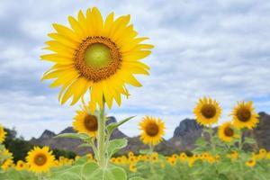 zonnebloemen boerderij met bergen en bewolkte hemelachtergrond
