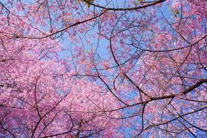 lente roze kersenbloesem bloemen met blauwe hemel achtergronden