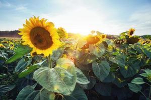 zonnebloemen door de stralen van de zon