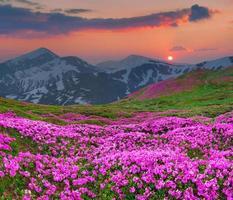 magische roze rododendronbloemen in de bergen. foto