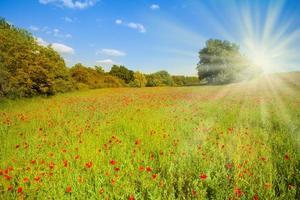 veld met papaverbloemen in de ochtendzon foto