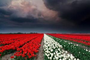 donkere stormachtige wolken boven tulpenveld