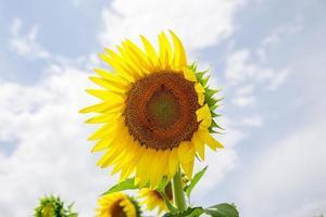 zonnebloem staan alleen op een veld met blauwe hemelachtergrond foto