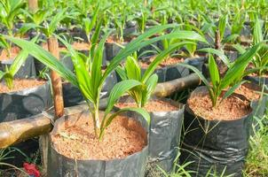olie palmboom foto