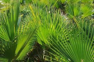 palmenbätter - spanien foto