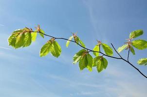 tak van beuk in het voorjaar