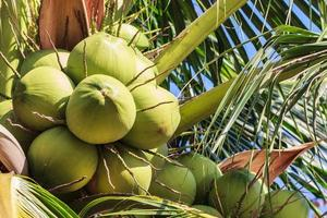 jonge kokosnoot op vruchtbare kokospalm foto