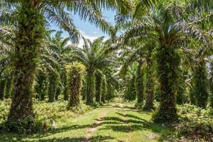 oliepalm plantage foto