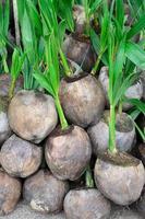 kokosnoot zaailingen foto