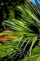 bladeren van een palmboom foto