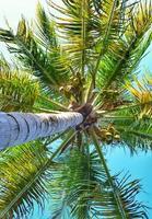 kokosnoten in overvloed foto