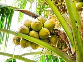 kokosnoot op boom foto