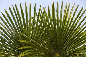herfstbladeren van een palmboom - hojas de palmera foto