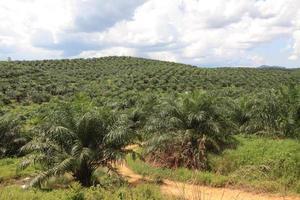 palmolieplantage in maleisië foto