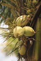 kokosnoten aan een boom foto