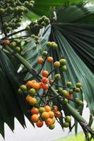palm waaier fruit foto