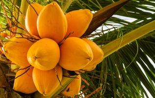 de gele kokosnoot. foto