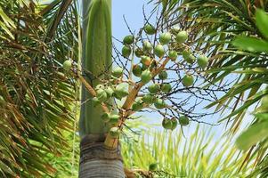 betel palm fruit foto
