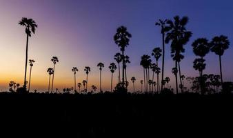 silhouet suiker palmboom op zonsondergang schemering