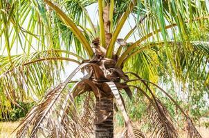 kokospalmen op veld in thailand foto