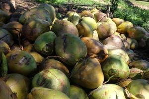 stapel kokosnoten onder een kokospalm