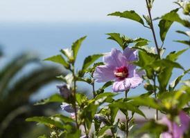 bloem van hybiscus tegen de Middellandse Zee
