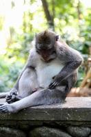 wilde aap in de jungle van Bali, Indonesië foto