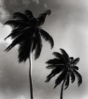 palmbomen in Belize foto