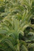 spanien - palmenblätter foto