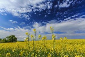 koolzaadvelden in het voorjaar op een zonnige dag