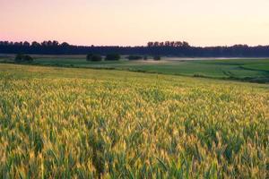 jonge groene graan veld bij zonsopgang foto
