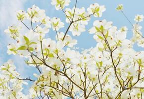 witte kornoelje boom foto
