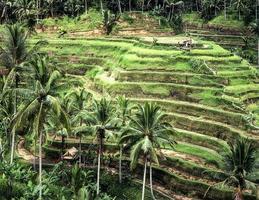 terrasvormige rijstvelden op Bali