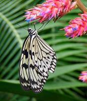 boom nimf vlinder foto