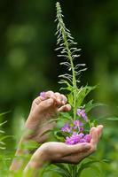handen verzamelen van bloemen van wilgenkruid (ivan-thee), close-up