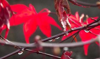 herfst japanse acer bladeren