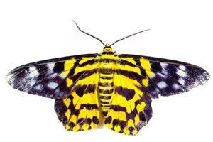 gele vlinder op witte achtergrond foto