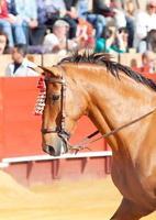 portret van picador's paard in corrida, sevilla. Spanje
