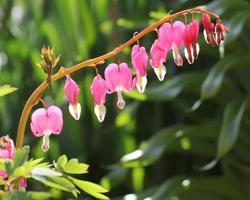 coeur de marie, hart, bloemen foto
