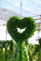 het hart hoya