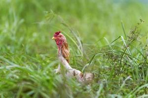 kip in het gras foto
